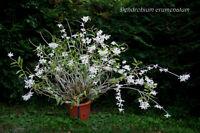 Rare Orchid species Seedling plant - Dendrobium Crumenatum