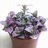 100 Pcs Seeds Fittonia Verschaffeltii Bonsai Mini Balcony Potted Flowers Garden