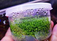 Dwarf Baby Tears Cup Hemianthus Callitrichoides Live Aquarium Plants Java Moss
