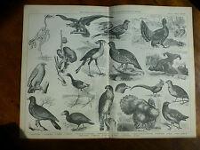 1874 Incisione Ornitologia-RAPACE GALLINACEI Birds AVVOLTOIO gerfalcon