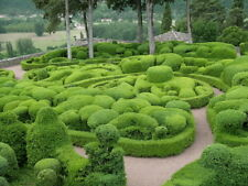 50Pcs Seeds Evergreen Ornamental Boxwood Shrub Green Tree Home Garden Plants