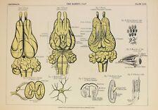Rabbit Mammal Antique Anatomy Print, 1880s Antique Colour Lithograph 3