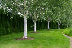 Betula utilis var. jacquemontii Tree 2-3 year seeding Himalayan Silver Birch