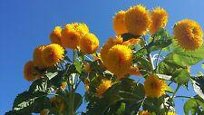 Giant Teddy Bear Sunflower Seeds