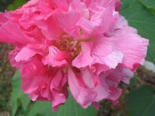 Hibiscus mutabilis Cotton Rose double 25 seeds FREE SHIP