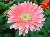 Gerbera Daisy Hybrids Mix Flower Seeds 50PCS+