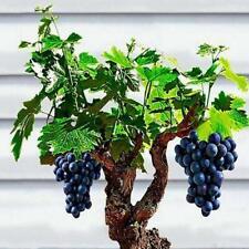 50Pcs Miniature Grape Vine Seeds Rare Bonsai Plants Organic Viable Plants🍇🍇🍇