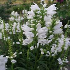 Obedient Plant- (Physostegia Virginiana) - White - 50 seeds