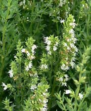 200 Graines non traitées d' HYSOPE OFFICINALE BLANCHE -Hyssopus officinalis alba