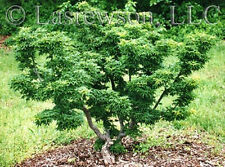 "Japanese Maple Seed ""Shishigashira"" *Ideal for Bonsai* ***Rare***"