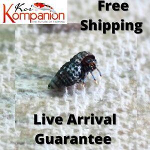 10/25/50/100X Blue Leg Hermit Crab Pea Sized Free Shipping Koi Kompanion