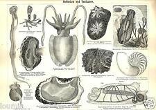 1888= MOLLUSCHI = Pesci Creature marine = Animali = Antica Stampa = Old ENGRAVIN