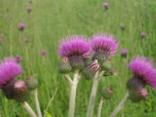 1 Cirsium rivulare Trevors Blue Wonder Perennial Purple Thistle Bee Plant