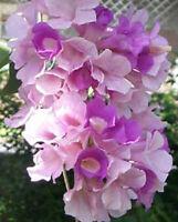 Garlic Vine Cydista aequinoctialis Mansoa alliacea plant