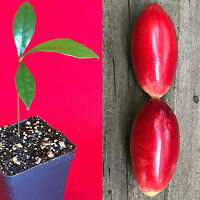 Miracle Fruit Synsepalum dulcificum Miracle Berry Fruit Seedling PLANT Tree