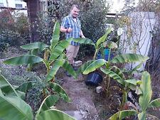 Winterharte einfache Banane für den Garten Musa basjoo schnellwüchsig Exot Palme