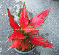"Beautiful Aglaonema ""Super Red"" Perfect Form&Good Color +Free Phyto Don't miss@"