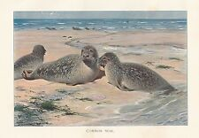 c1914 NATURAL HISTORY PRINT ~ COMMON SEAL ON SHORE ~ LYDEKKER