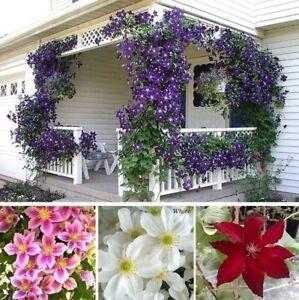 Climbing Plants Clematis Seeds Flowers Outdoor Decoration Garden House UK STOCK