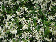 Trachelospermum Jasminoides - Star Jasmine- Climbing Plant Approx 1M Tall.