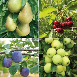 T&M Mini Fruit Tree Patio Potted Garden Plants Apple Pear Plum Cherry 9cm Pots