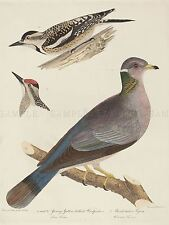 TITIAN RAMSAY PEALE AMERICAN YOUNG WOODPECKER PIGEON ZOOLOGY ART PRINT BB4987A