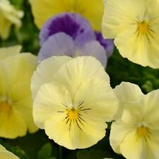 "Pansy Cool Wave Seeds Lemon Surprise Coolwave Pansy ""NEW VARIETY"" 15 Seeds"