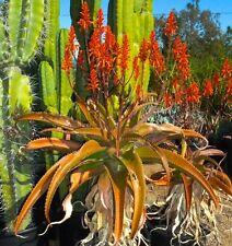 10 Aloe vaombe SEMI RARE CACTUS SEEDS SUCCULENT seeds korn