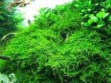 Christmas-moss Vesicularia montagnei rare X-mas-moos  1 coupe 6 cm IN VITRO