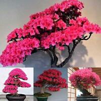 10Pcs Japanischen Kirschblüten Blumensamen Bonsai Seltene Baumpflanz J7O9