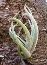 Tillandsia Pueblensis Air Plants