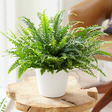 Nephrolepis Boston Indoor Home Office Plant Gift for Sale (25-35cm Incl. Pot)