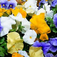 50 Pansy Seeds Character Surf Mix FLOWER SEEDS