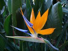Flor Ave del Paraiso - STRELITZIA REGINAE - 8 Semillas  - Jardin Flores Samen