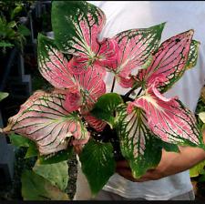 Pink Elephant Ear Bulbs Caladium Tropical Perennial Bonsai Meaty Plants Balcony