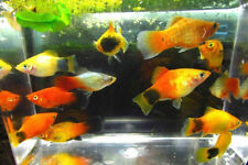 5 Assorted Colorful Platy Live Freshwater Aquarium Fish
