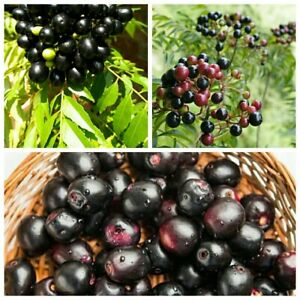 100% Organic Indian Curry leaves/Curry leaf plant kadi patta murraya /10 seeds