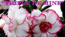 Adenium Obesum (desert rose) Triple Be Mine, 5 seeds