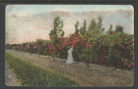 1910s A HEDGE OF ROSES CALIFORNIA POSTCARD
