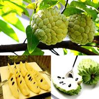 20pcs Gardening Plants Annona Squamosa Seeds Sweetsop Seeds Fruit Seeds