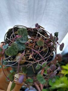 Ceropegia Woodii - String Of Hearts, live plant, houseplant