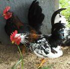 2 Serama | Smooth~Silkie-Frizzle | Chicken Hatching EGGS