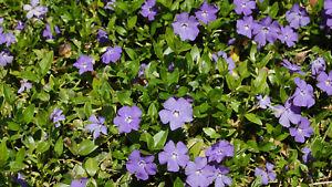 50+ Creeping Myrtle Periwinkle Vinca Minor Vines Flowering Plants Ground Cover