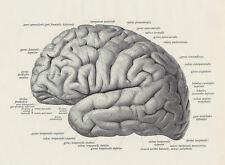 GRANDE stampa incorniciata-Vintage 1933 francese Illustrazione del cervello (arte medica)