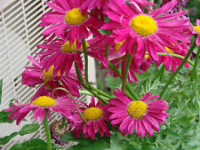 daisy, PAINTED, GIANT HARDY PERENNIAL, 10 seeds! GroCo*