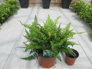 Hardy Evergreen Fern Tsus-simense, Korean rock fern for shade 1.5litre pot.