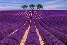 winterhart: dieser Lavendel ist besonders duft- und farb-intensiv !