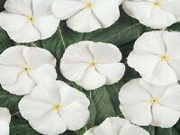 50 Vinca Seeds Sunsplash Bright White FLOWER SEEDS