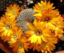 Rebutia arenacea exotic rare cactus cacti seed 10 SEEDS