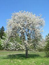 Prunus avium-WILD CHERRY Tree 25 semi